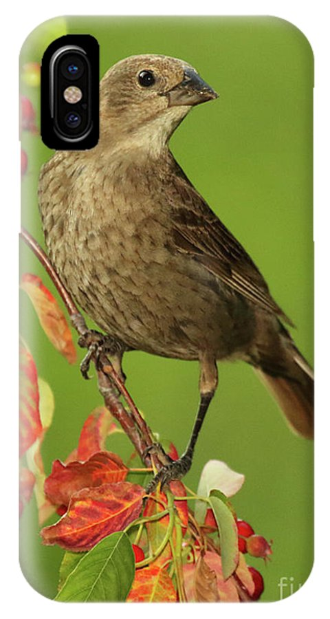 Autumn IPhone X Case featuring the photograph Cowbird Among Berries by Max Allen