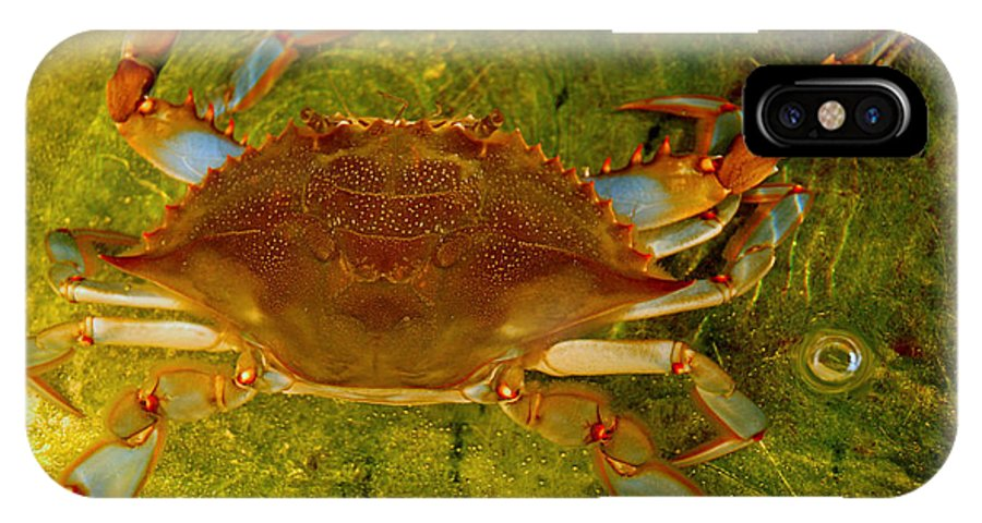Coastal Wildlife IPhone X / XS Case featuring the photograph Crabby by Shannon Jones