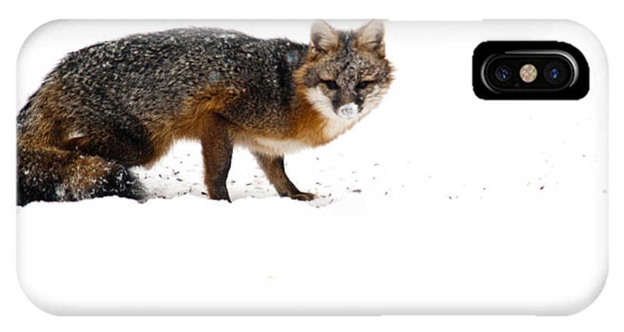 Red IPhone X Case featuring the photograph Curious Red Fox In Snow by Douglas Barnett