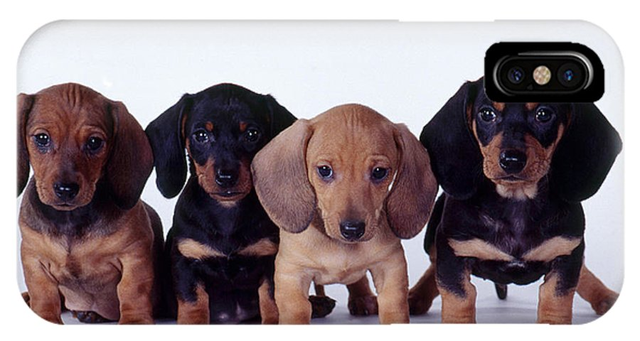 Fauna IPhone X Case featuring the photograph Dachshund Puppies by Carolyn McKeone and Photo Researchers