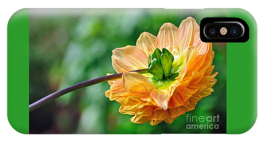 Photography IPhone X Case featuring the photograph Dahlia Resting by Kaye Menner