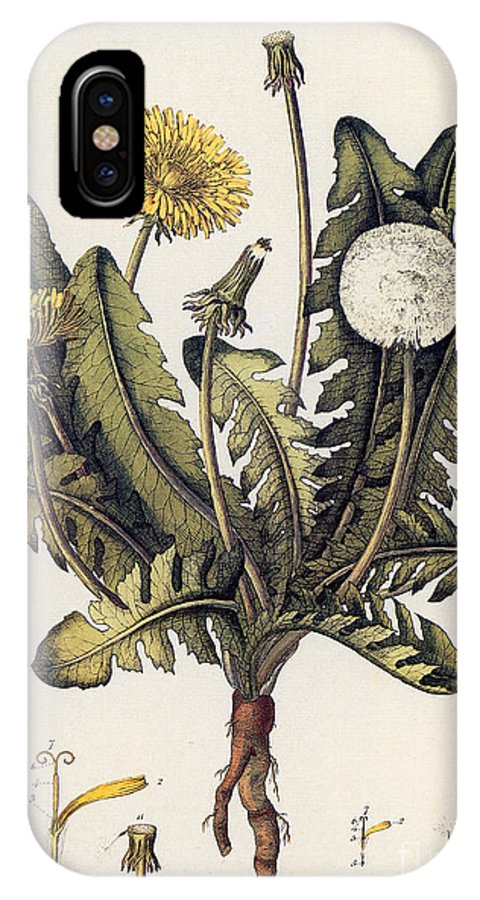 18th Century IPhone X Case featuring the photograph Dandelion by Granger
