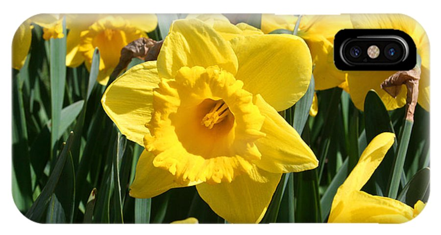 Daffodils IPhone X Case featuring the photograph Darling Spring Daffodils by Mary Gaines