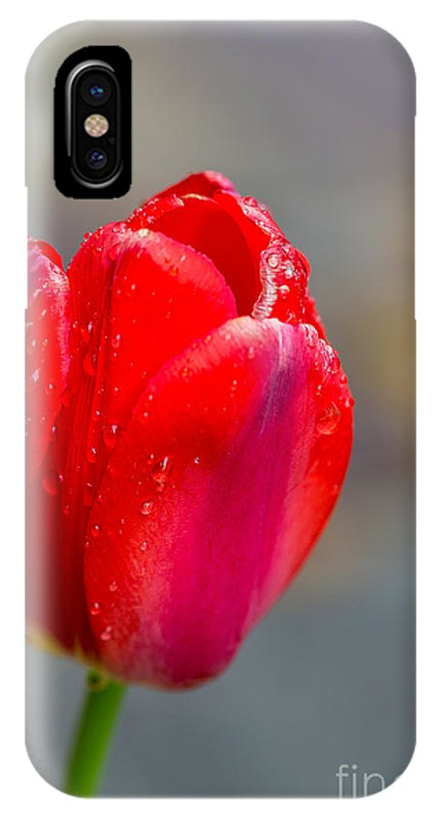 Flowers IPhone X Case featuring the photograph Dew On Tulip by Beverly Tabet