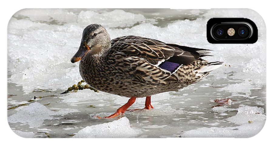 Duck IPhone X Case featuring the photograph Duck Walking On Thin Ice by Carol Groenen