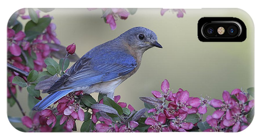 Bird IPhone X Case featuring the photograph Easternbluebird4 by Tammy Wolfe