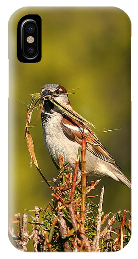 Sparrow IPhone Case featuring the photograph English Sparrow Bringing Material To Build Nest by Max Allen