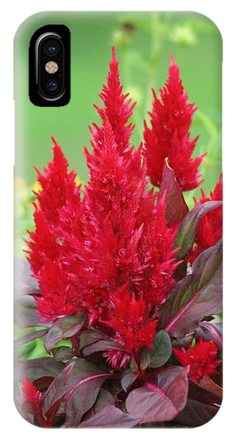 Celosia IPhone X / XS Case featuring the photograph Flames Of Celosia by Tammy Finnegan