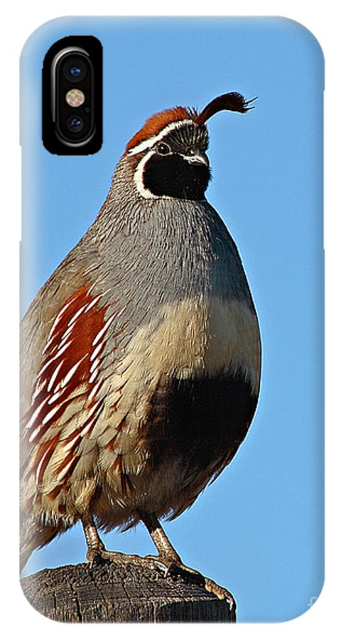 Quail IPhone X Case featuring the photograph Gambel's Quail On Sunny Perch by Max Allen