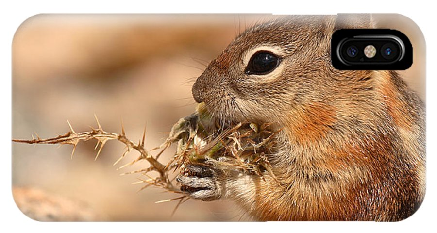 Squirrel IPhone X Case featuring the photograph Golden-mantled Ground Squirrel Eating Prickly Spine by Max Allen