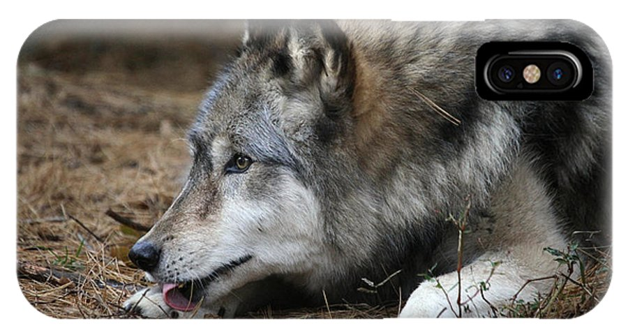 Wolf IPhone X Case featuring the photograph Gray Wolf by Karol Livote