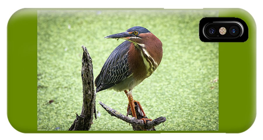 Green IPhone X / XS Case featuring the photograph Green Heron by Soroush Mostafanejad