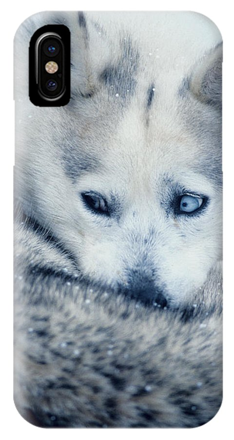 Husky IPhone Case featuring the photograph Husky Curled Up by Steve Somerville