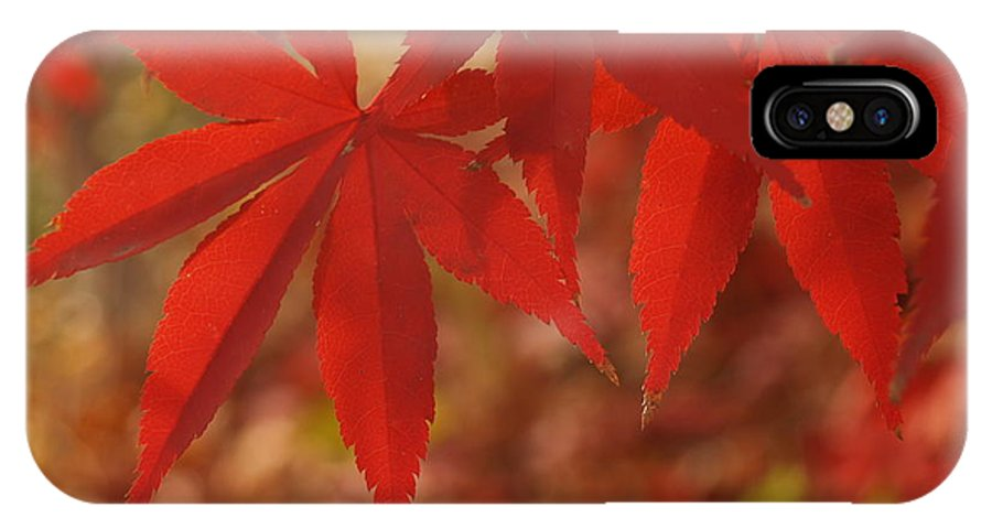 Leaf IPhone Case featuring the photograph Japanese Maple In Afternoon by Anna Lisa Yoder