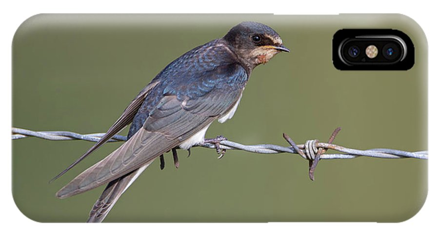 Barn IPhone X Case featuring the photograph Juvenile Barn Swallow Side On by Peter Walkden