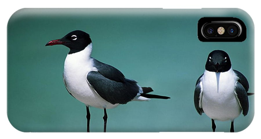 2 Laughing Gulls IPhone X Case featuring the photograph Laughing Gulls by Sally Weigand