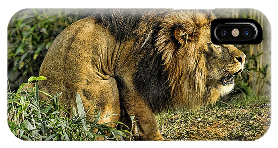Lion IPhone X Case featuring the photograph Lion Calling Females by Keith Lovejoy