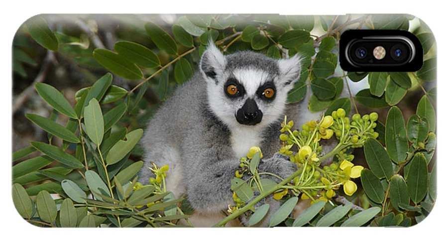 Madagascar IPhone X Case featuring the photograph Little Ring-tailed Lemur by Michele Burgess