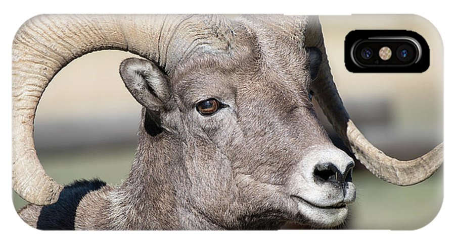 Bighorn Sheep IPhone X Case featuring the photograph Looking Good by Connie Troutman