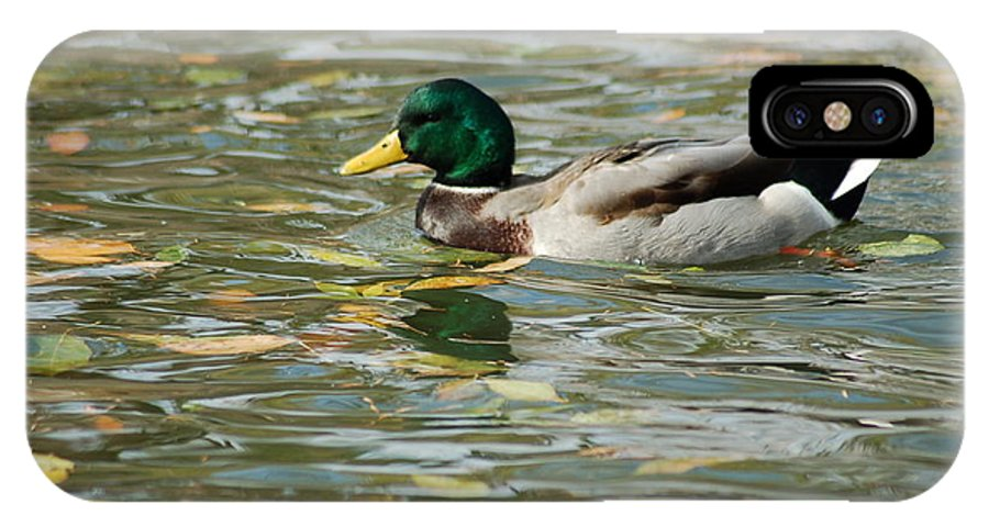 Birds IPhone X Case featuring the photograph Mallard among the fallen leaves by D Nigon