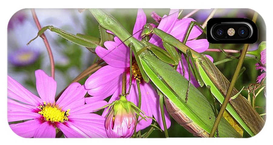 Preying Praying Mantis Cosmos Mating Mates Flower Insect Bug Nature Green Pink IPhone X Case featuring the photograph Mantis Mates In The Cosmos by Sam Klingensmith
