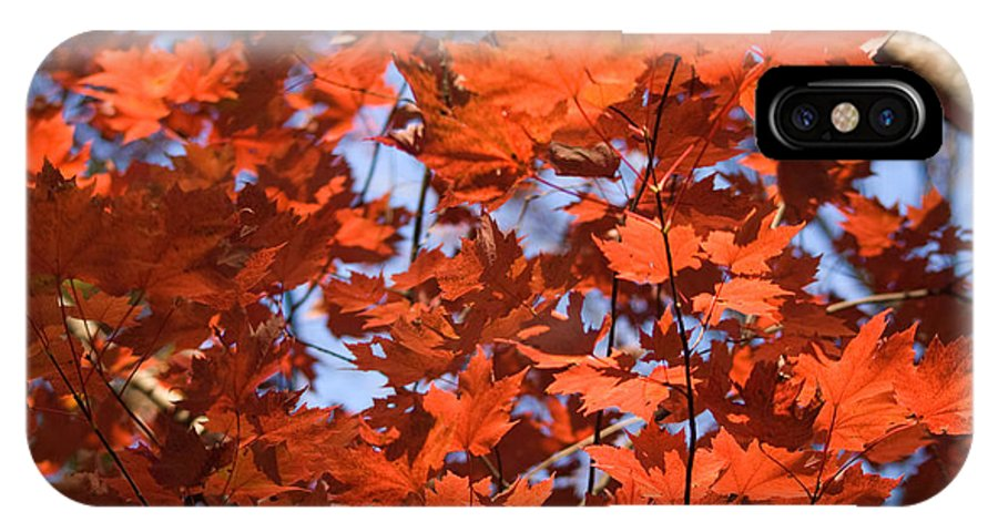 Maple IPhone X Case featuring the photograph Maple Leaves Aglow by Douglas Barnett