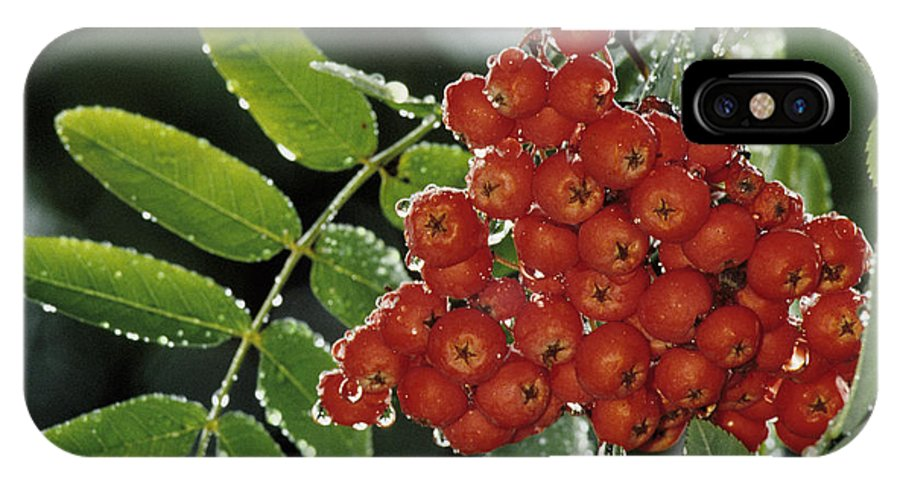 Mountain Ash IPhone X Case featuring the photograph Mountain Ash Berries In Rain by Steve Somerville