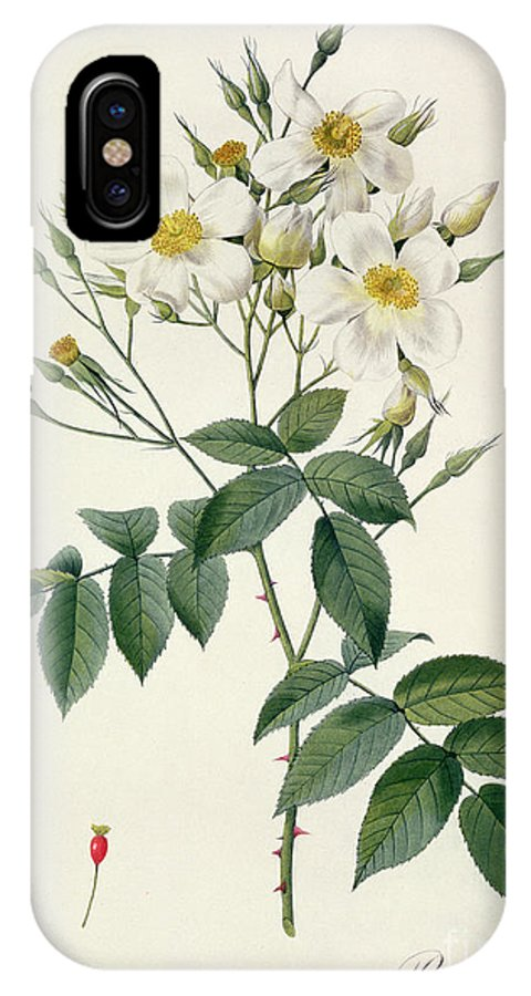 Rosa IPhone X Case featuring the drawing Musk Rose by Pierre Joseph Redoute
