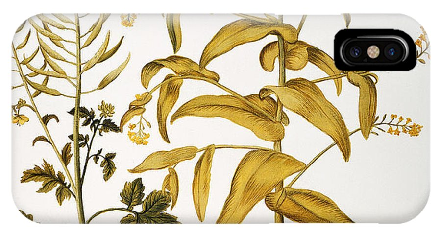 1613 IPhone X Case featuring the photograph Mustard Plant, 1613 by Granger