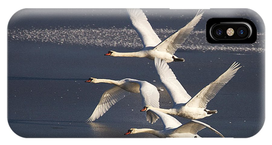 Swans IPhone X Case featuring the photograph Mute Swans In Flight by Bob Kemp