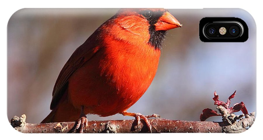 Cardinal IPhone X Case featuring the photograph Northern Cardinal by Bruce J Robinson