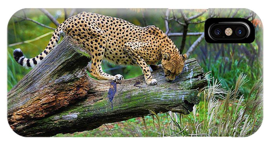 Cheetah IPhone X Case featuring the photograph On The Prowl by Keith Lovejoy