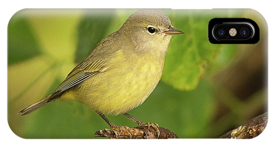 Bird IPhone X Case featuring the photograph Orange Crowned Warbler by Dennis Hammer