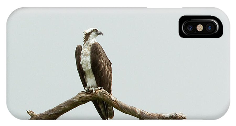 First Landing State Park IPhone X Case featuring the photograph Osprey Perched by MotionOne Studios