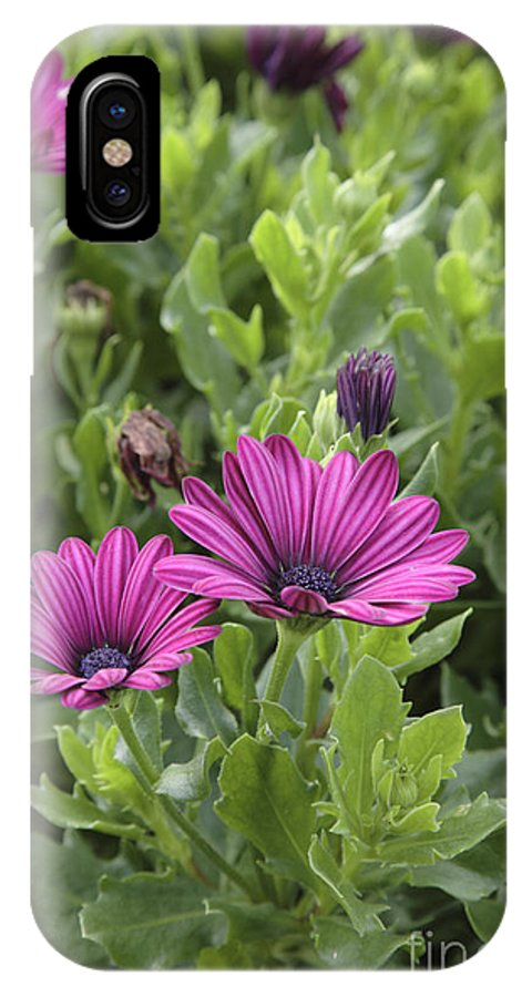 New England IPhone X Case featuring the photograph Osteospermum Flowers by Erin Paul Donovan