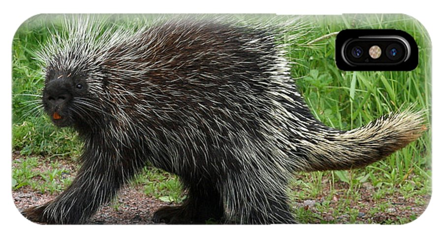 Porcupine IPhone X / XS Case featuring the photograph Out For A Walk by David Barker