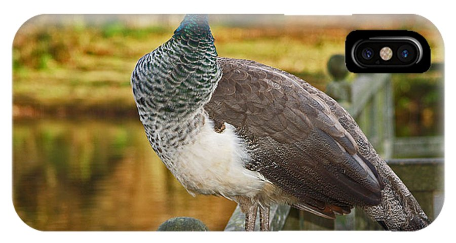 Peahen IPhone X Case featuring the photograph Peahen In Autumn by Bel Menpes