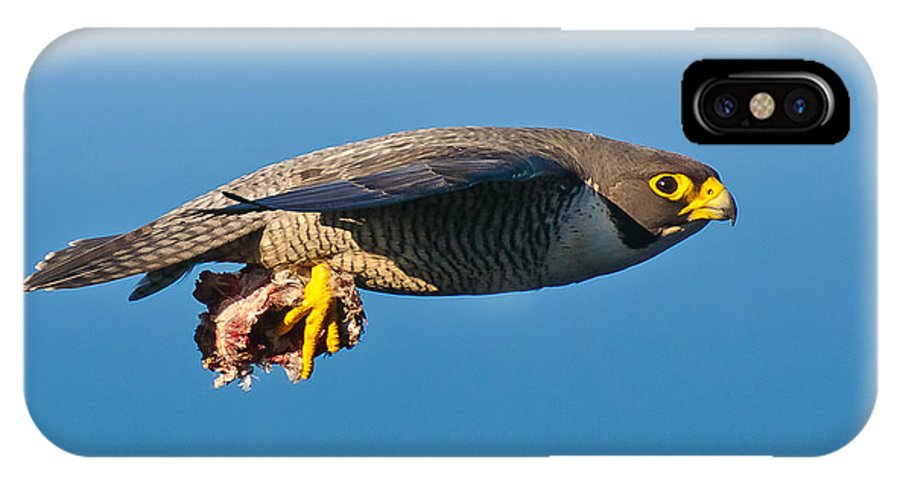 Peregrine Falcon IPhone X / XS Case featuring the photograph Peregrine Falcon 2 by Michael Nau