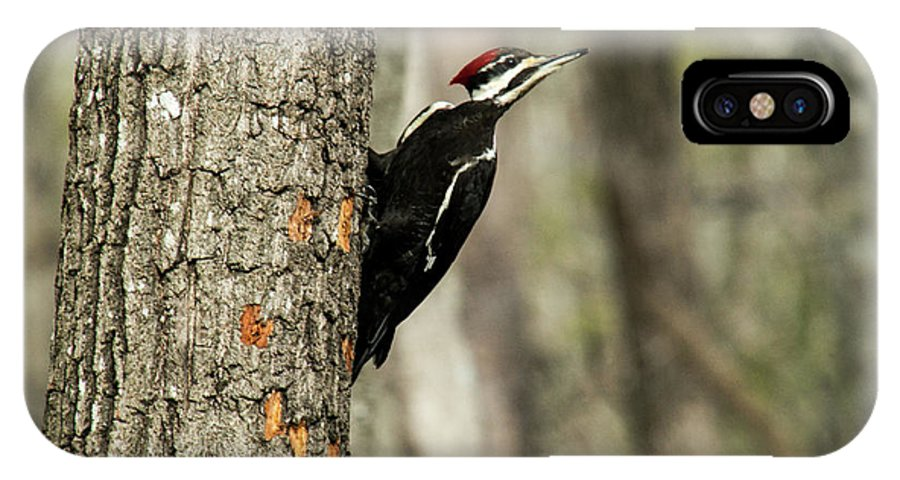 Pileated IPhone X / XS Case featuring the photograph Pileated About To Take Flight by Douglas Barnett