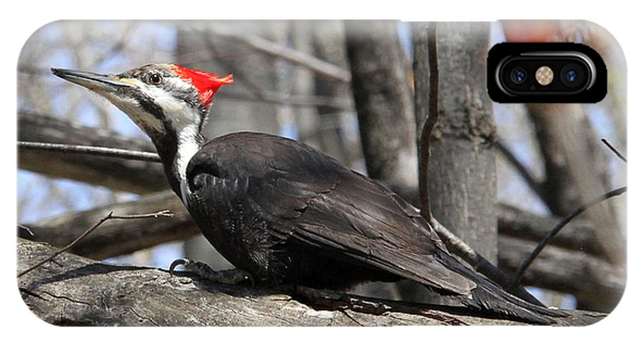 Pileated Woodpecker IPhone X Case featuring the photograph Pileated Woodpecker by Doris Potter