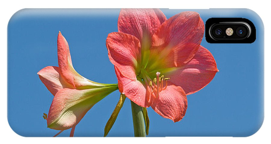 Hippeastrum; Amaryllidaceae; Belladonna; Lily; Amaryllis; Flower; Flowering; Plant; Bulb; Pot; Garde IPhone X Case featuring the photograph Pink Amaryllis Flowering In Spring by Allan Hughes