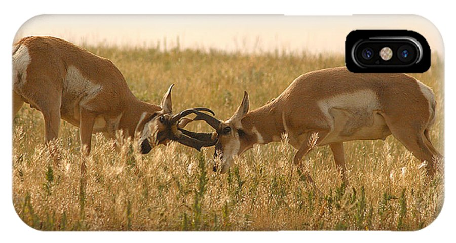 Pronghorn IPhone X / XS Case featuring the photograph Pronghorn Antelope Sparring In Autumn Field by Max Allen