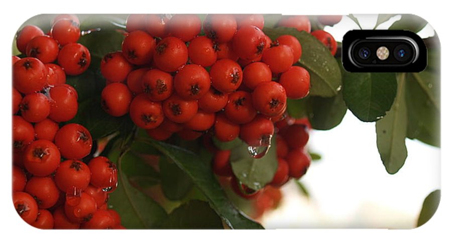 Pyracantha IPhone X Case featuring the photograph Pyracantha Berries In December by Anna Lisa Yoder