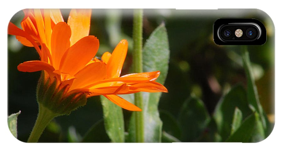 Orange Daisy IPhone X Case featuring the photograph Reach For The Sun 2 by Amy Fose
