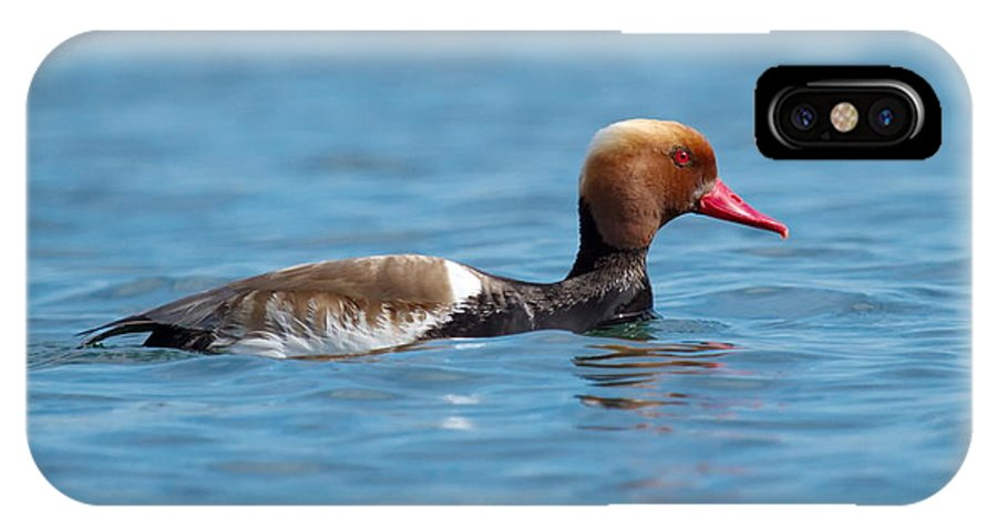 Red-crested IPhone X Case featuring the photograph Red-crested Pochard, Netta Rufina by Elenarts - Elena Duvernay photo