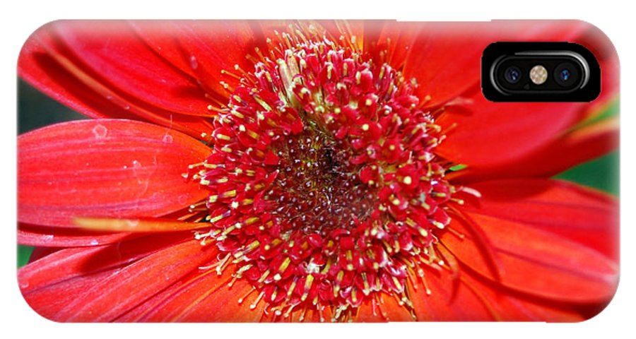 Gerber IPhone Case featuring the photograph Red Gerber Daisy by Amy Fose
