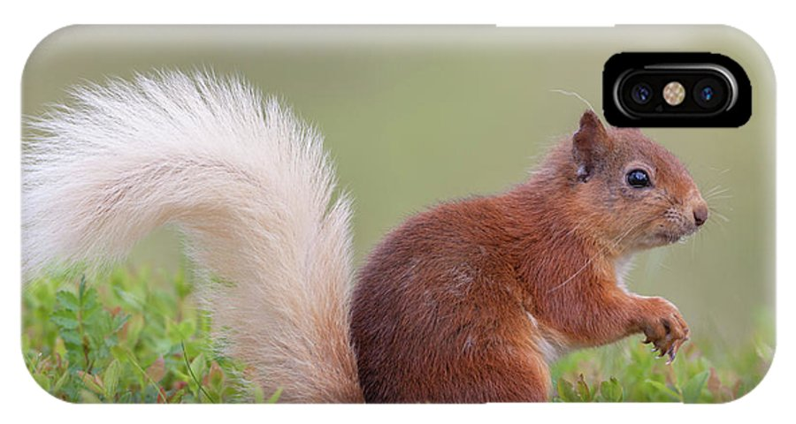 Red IPhone X Case featuring the photograph Red Squirrel Pauses by Peter Walkden