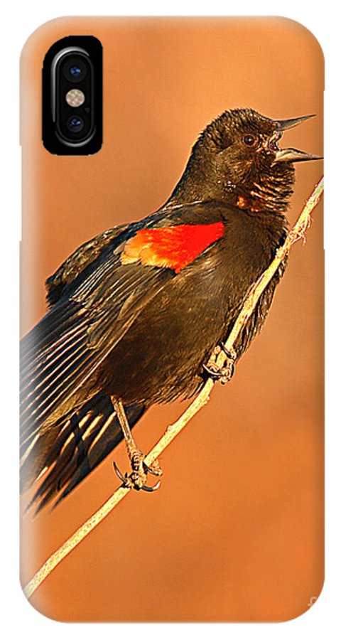 Blackbird IPhone Case featuring the photograph Red-winged Blackbird Belting Out Spring Song by Max Allen