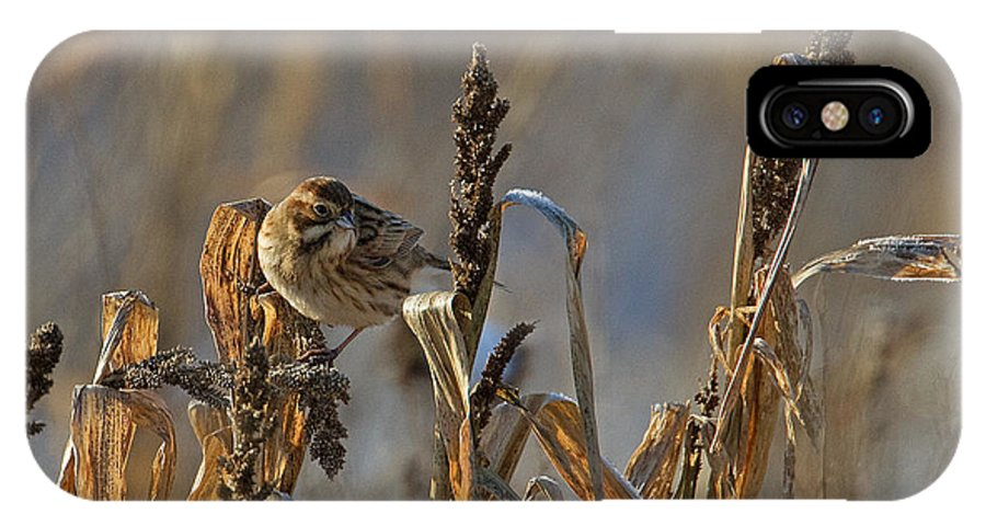 Reed Bunting IPhone X Case featuring the photograph Reed Bunting by Bob Kemp