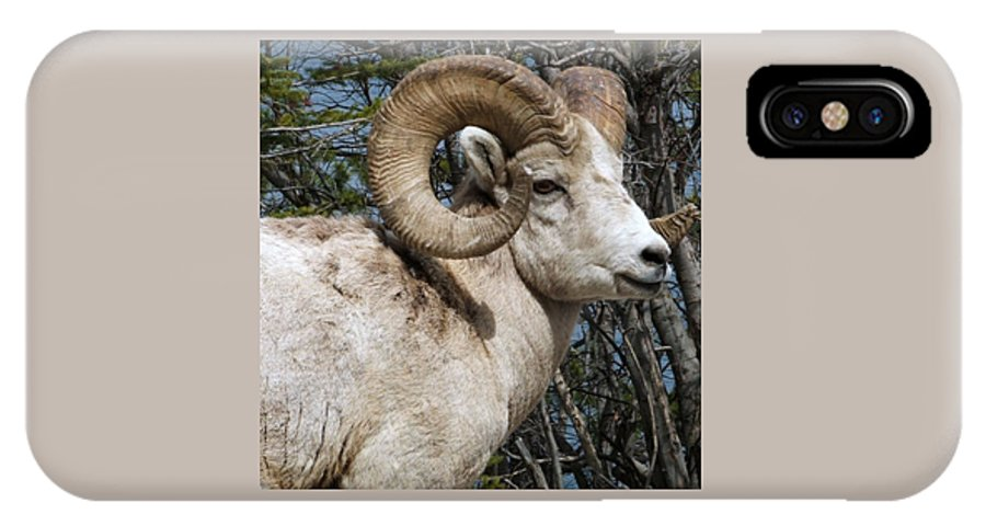 Wildlife IPhone X Case featuring the photograph Rocky Mountain Ram by Tiffany Vest
